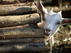 Goat Gift Cards for Charity
