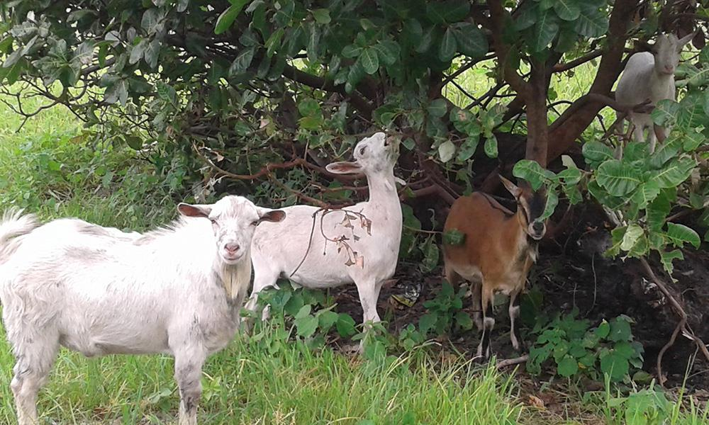 Dairy Goats in Africa